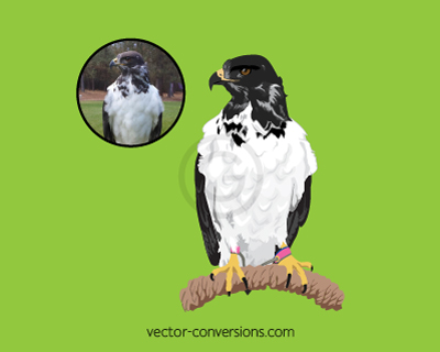Photo to vector conversion of Taima Seahawks mascot for specialty promo items